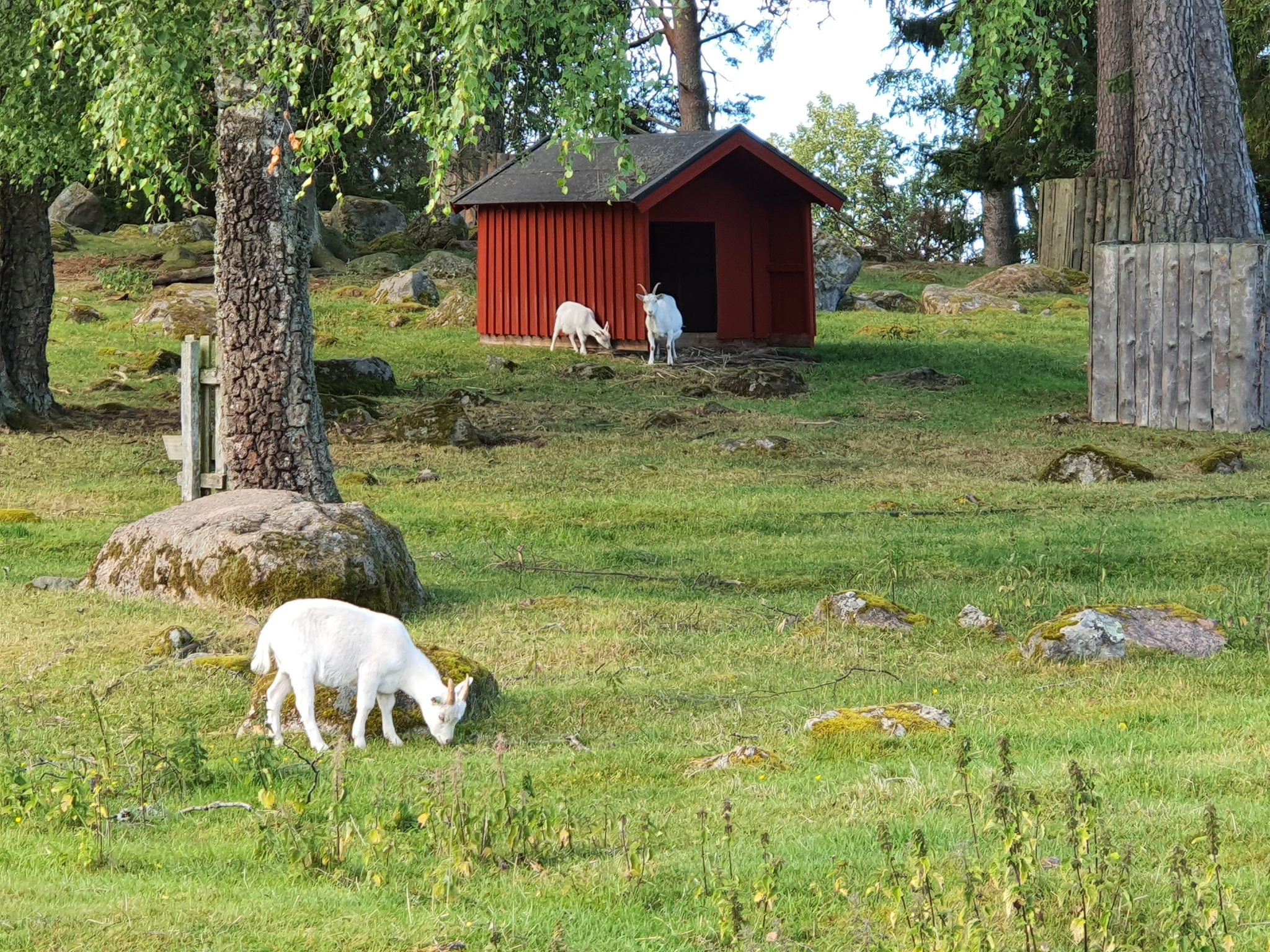 Goats in Lill-Valla Playground